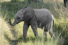 Молодой слон стоковые изображения