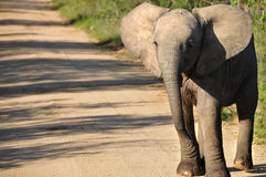 Молодой слон стоковое фото rf