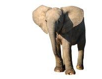 Молодой слон стоковое изображение