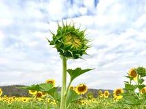 Молодой солнцецвет с облачным небом стоковое фото rf