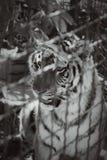 Молодой тигр в клетке металла стоковые изображения
