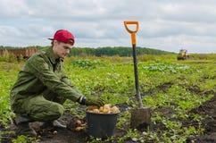 Молодой фермер жать картошки Стоковые Фото