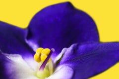 Молодой фиолет цветка, природа, чистота, гигиена, молодость, дух, запах, красота, пурпур, предпосылка, интимная область, изолят стоковые фотографии rf