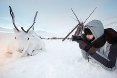 Молодой фотограф снимает белого и милого оленя лежа на снеге холод очень Россия, Сибирь, Yamal Стоковое Изображение RF