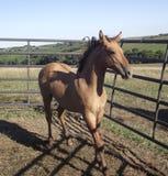 Молодой ход лошади Стоковое Фото