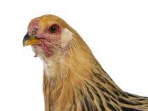 Молодой цыпленок Brahma, изолированный на белой предпосылке стоковые изображения