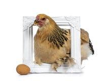 Молодой цыпленок Brahma, изолированный на белой предпосылке стоковое фото