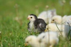 Молодой цыпленок Brahma Стоковые Изображения