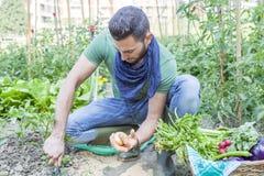 Молодой человек вытягивает вне картошки в огороде Стоковые Изображения