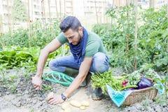 Молодой человек вытягивает вне картошки в огороде Стоковое Изображение