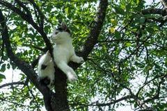 Молодой черно-белый кот на ветви вишневого дерева среди зеленой листвы поскачите готовое к Нижний взгляд Стоковые Фото