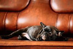 Молодой черный щенок собаки французского бульдога сидит на красной софе крытой смешно Стоковые Изображения RF