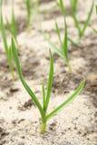 Молодой чеснок зеленый росток Весна Стоковые Изображения RF