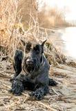Молодой шаловливый гигантский шнауцер в парке в предыдущей весне Немецкая собака племенника Стоковое фото RF