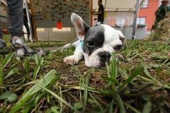 Молодой щенок собаки Стоковые Фото