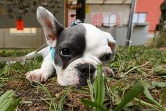Молодой щенок собаки Стоковое Изображение RF