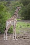 Молодой южный портрет жирафа, Ботсвана Стоковое Изображение