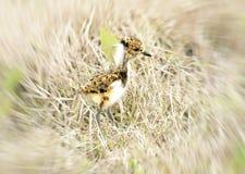 Молодой южный Yellowlegs идя на поле стоковое фото
