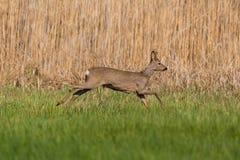 Молодой capreolus roebuck бежать перед камышовым поясом стоковое изображение rf
