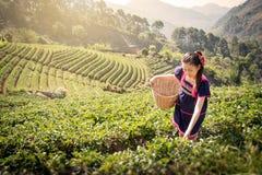 Молодые азиатские женщины от листьев чая рудоразборки Таиланда на чае field Стоковые Изображения