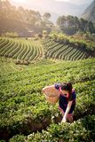 Молодые азиатские женщины от листьев чая рудоразборки Таиланда на чае field Стоковое Изображение