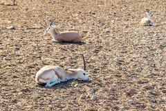 Молодые антилопы в парке сафари на острове господина Bani Yas, Объениненных Арабских Эмиратов стоковые изображения