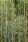 Молодые ветви бамбука перед яркое ым-зелен Стоковые Изображения RF