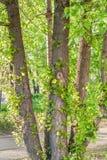 Молодые ветви с зелеными sunlit листьями на старом стволе дерева тополя на дне лета солнечном в парке Стоковое Фото