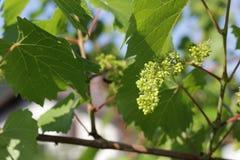 Молодые виноградины на винограднике Стоковое фото RF