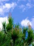 Молодые всходы дерева кедра стоковые изображения rf