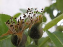 Молодые груши growwing на дереве Стоковые Изображения