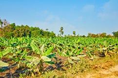 Молодые заводы банана, Ava, Мьянма стоковые фотографии rf