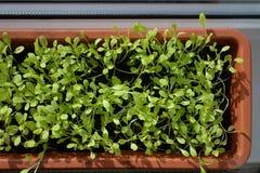 Молодые заводы салата, который выросли в баке Стоковые Изображения