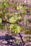 Молодые зеленые листья на старой французской лозе Лоза в весеннем времени Земледелие виноградников весной стоковые фотографии rf