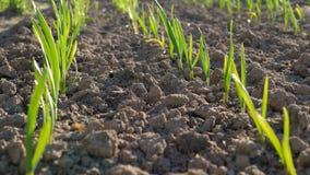Молодые зеленые ростки в парнике на солнечном дне Стоковое Изображение