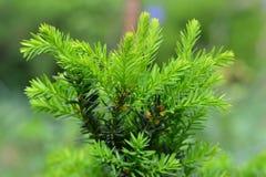 Молодые зеленые хворостины, ростки на baccata Taxus Yew-дерево в spr Стоковое Изображение RF