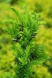 Молодые зеленые хворостины, ростки на baccata Taxus Yew-дерево в spr Стоковое фото RF