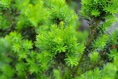 Молодые зеленые хворостины, ростки на baccata Taxus Yew-дерево в spr Стоковое Фото
