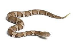 Молодые змейка Copperhead или moccasin гористой местности - contor Agkistrodon стоковые фото