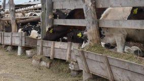 Молодые икры коров едят сено в ручке акции видеоматериалы