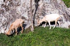 Молодые козы есть луг Стоковое Изображение