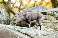 Молодые козы на утесах и валунах Стоковые Фото