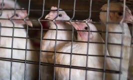 Молодые курицы для мяса сидят в клетках на птицеферме, конце-вверх, животном, более молодом поколении стоковое фото rf