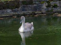 Молодые лебеди молодого лебедя с серыми пер стоковое фото rf