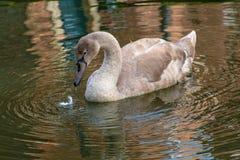 Молодые лебеди молодого лебедя с серыми пер стоковые фото