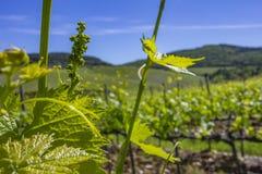 Молодые листья виноградин в солнечном свете на заходе солнца Молодое цветорасположение виноградин на конце-вверх лозы Виноградная стоковая фотография