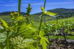 Молодые листья виноградин в солнечном свете на заходе солнца Молодое цветорасположение виноградин на конце-вверх лозы Виноградная стоковые фотографии rf