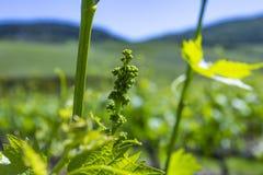 Молодые листья виноградин в солнечном свете на заходе солнца Молодое цветорасположение виноградин на конце-вверх лозы Виноградная стоковая фотография rf