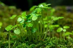 Молодые листья малых саженцев разрывали от мха стоковые фотографии rf