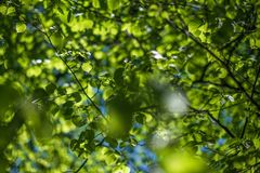 Молодые листья осины под солнечным светом стоковые изображения